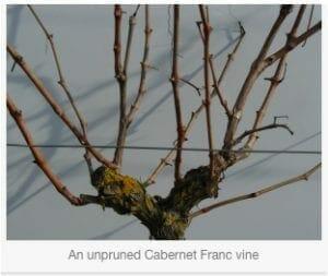 Un Pruned Vine