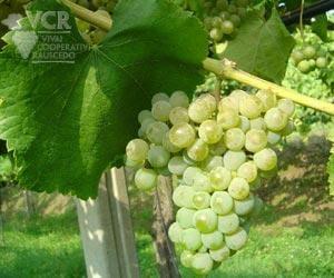 Alvarinho Grapes from Vinho Verde