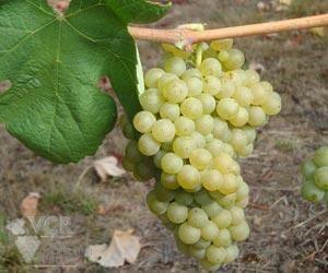 Loureiro Grapes from Vinho Verde